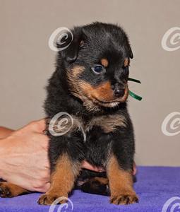 Baby Rottweiler Puppy
