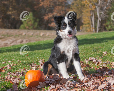 Border Collie Puppy Sitting in Fall Leaves with a Pumpkin