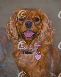 Head Portrait of a Ruby Red Cavalier King Charles Spaniel Dog