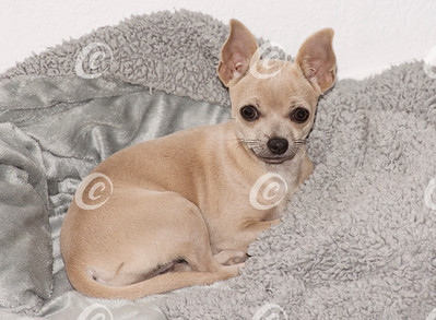 Beige Chihuahua Puppy