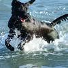 Labrador Retreivers Black