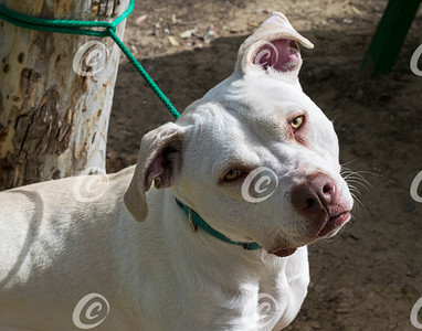 Sad Eyed White Pit Bull Dog Tied Short to a Tree