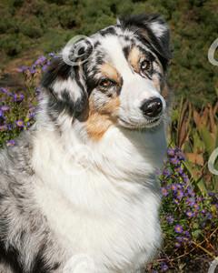 Head Portrait of a Blue Merle Australian Shepherd