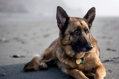 Zenzi takes a rest after a full day of playing on the beach in Washington