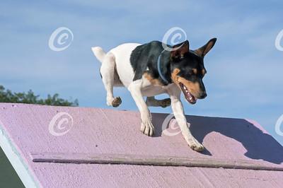 Terrier Dog Climbing A-frame