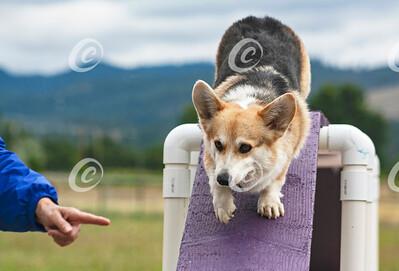 Pembroke Corgi Dog Agility