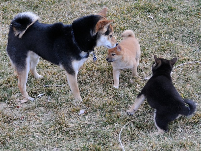 Jude and Sadie playing with Louie, our neighbors' adult Shiba Inu