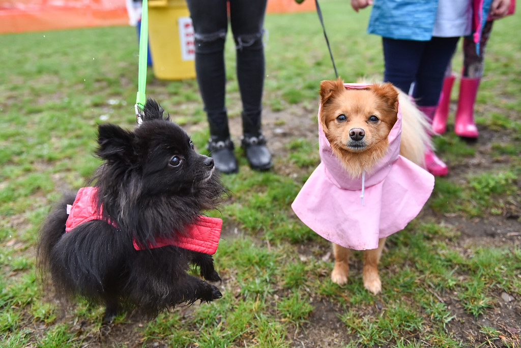 . (04/29/18 DEVENS) Dez (left) wears a vest as Penny shelters from the rain with a rain coat during Sunday\'s Dogs2Vets Festival on Fort Devens.  SENTINEL & ENTERPRISE JEFF PORTER