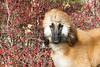 Purebred  Afgan Hound