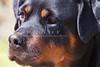 Purebred  Rottweiler