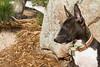 Purebred  Mini Bull Terrier