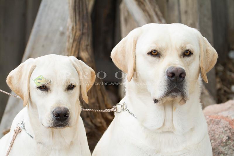 Purebred  Yellow Labrador
