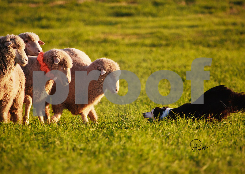 5946  The Challenge-Herding Series copy