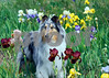 Purebred  Collie Blue standing in field of blooming iris