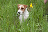 Purebred Jack Russell Terrier