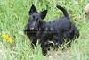 Purebred  Scottish Terrier