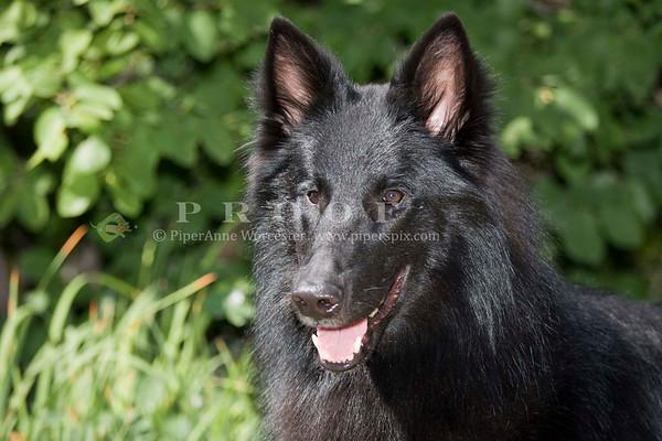 BelgianSheepdog