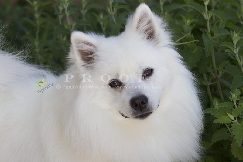 Purebred  American Eskimo