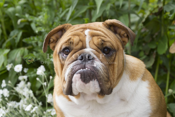 Bulldog_SF