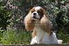 Purebred  Cavalier King Charles Spaniel
