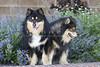 Purebred Finnish Lapphund