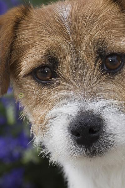 Jack Russell Terrier_NB