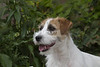 Purebred Russel Terrier