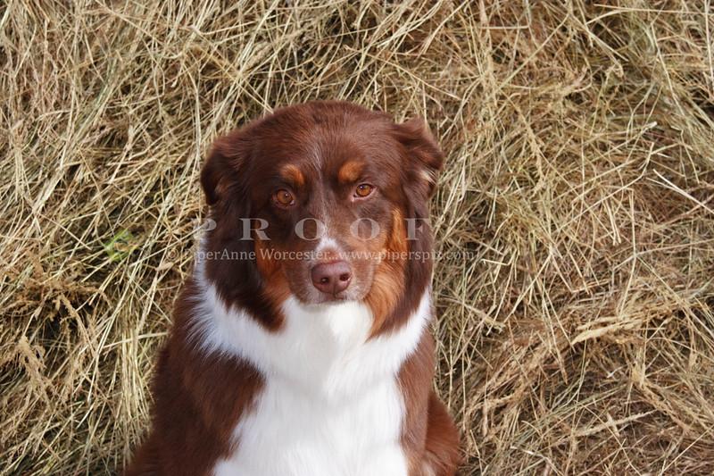 Purebred  Australian Shepherd