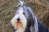 Purebred  Bearded Collie