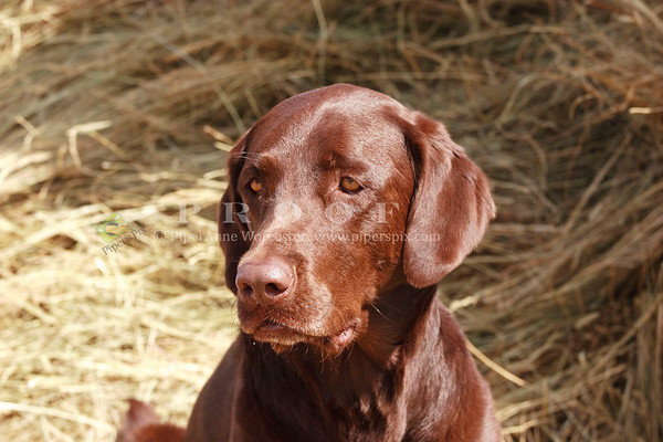 Chocolate Lab_IJ
