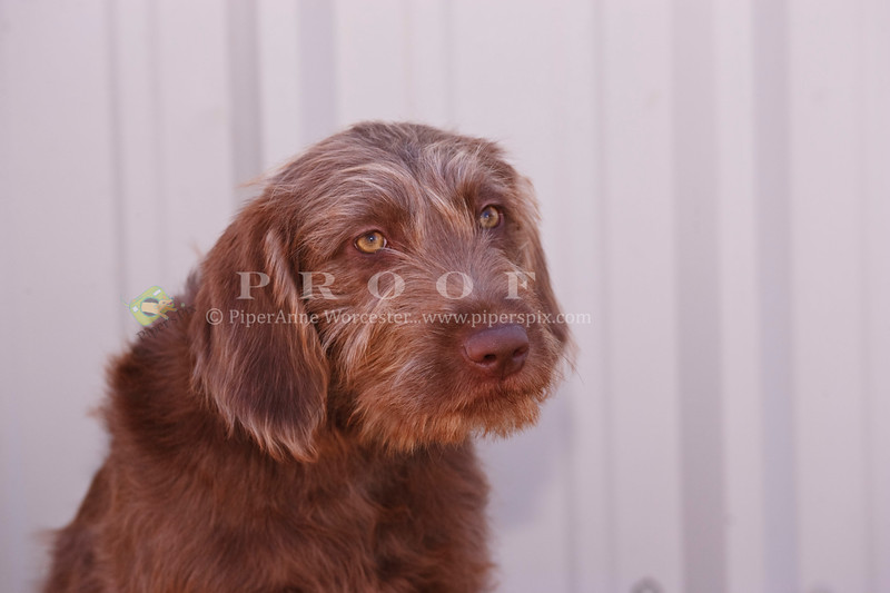Mixed Breed Labradoodle