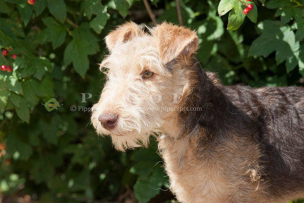 Lakeland Terrier_JH