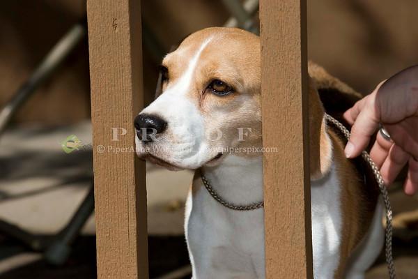 Beagle TG