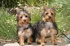 Purebred Silky Terrier