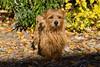 Purebred  Norfolk Terrier