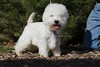 Purebred  West Highland White Terrier