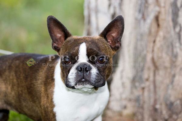 Boston Terrier_Griswell