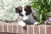 Purebred  Border Collie,