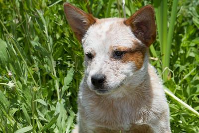 Purebred  Australian Cattle Dog