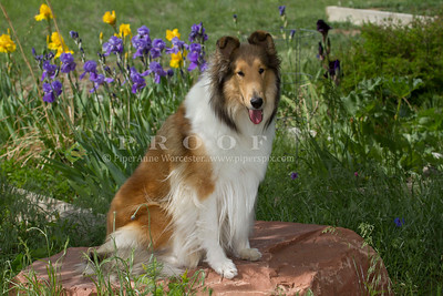 Purebred  Collie Sable and White