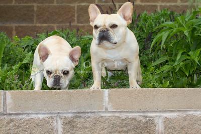 Purebred  French Bulldogs