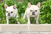 Purebred  French Bulldogs
