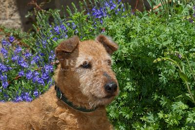 Purebred Irish Terrier