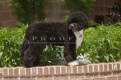 Portuguese Water Dog,Purebred