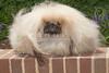 Purebred  Pekingese