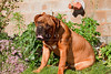 Purebred Dogue de Bordeaux