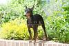 Purebred Manchester Terrier