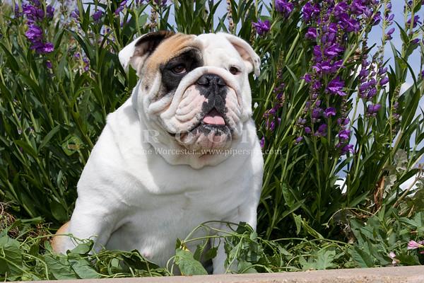 Bulldog CM
