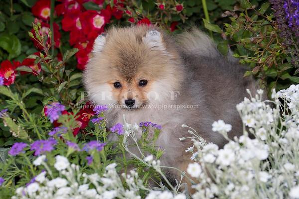 Pomeranian_PK