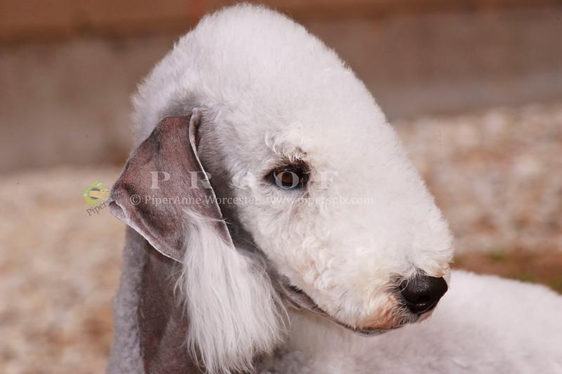 Purebred  Bedlington Terrier